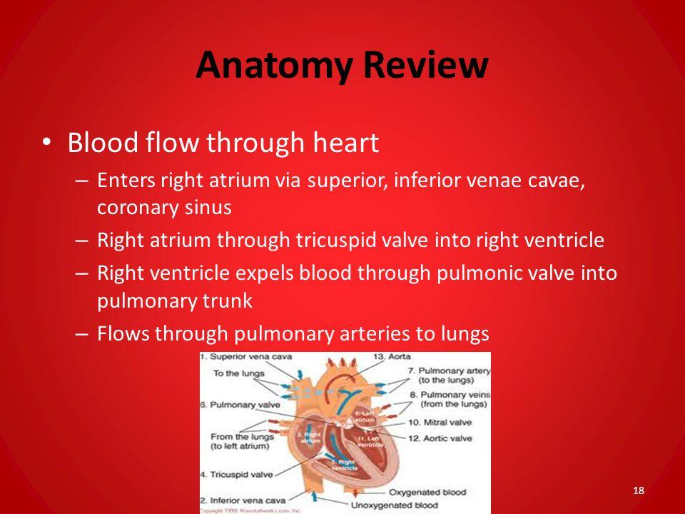 Anatomy Review Blood flow through heart – Enters right atrium via superior, inferior venae cavae, coronary sinus – Right atrium through tricuspid valv