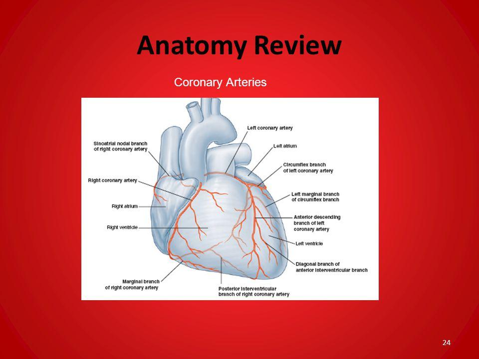 Anatomy Review Coronary Arteries 24