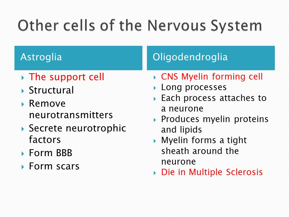 AstrogliaOligodendroglia  The support cell  Structural  Remove neurotransmitters  Secrete neurotrophic factors  Form BBB  Form scars  CNS Myelin forming cell  Long processes  Each process attaches to a neurone  Produces myelin proteins and lipids  Myelin forms a tight sheath around the neurone  Die in Multiple Sclerosis