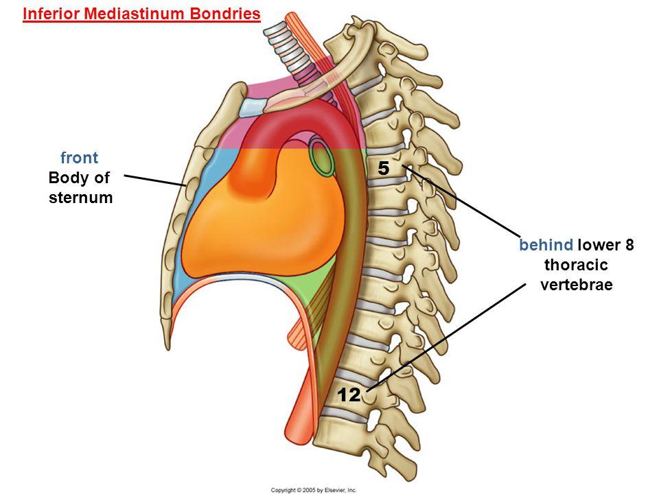 5 12 front Body of sternum Inferior Mediastinum Bondries behind lower 8 thoracic vertebrae