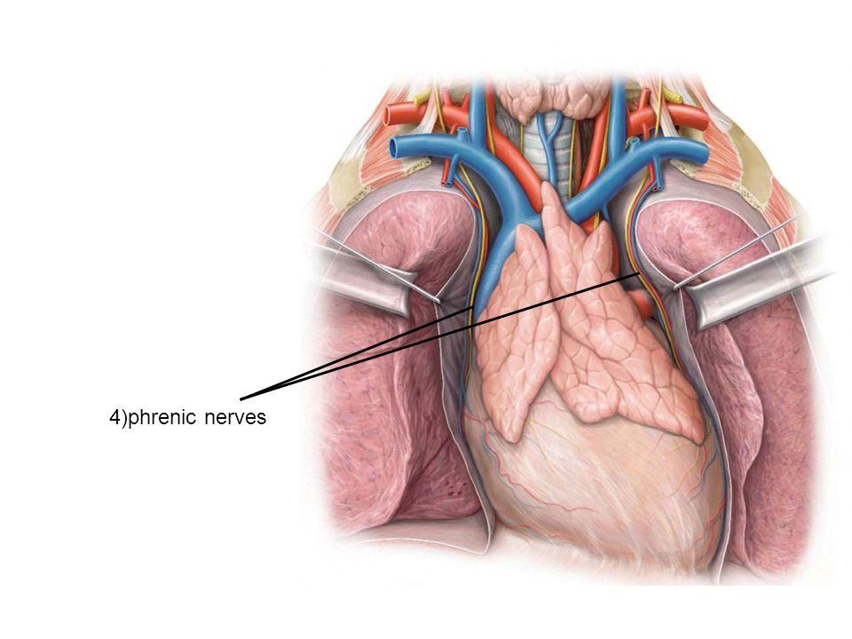 4)phrenic nerves