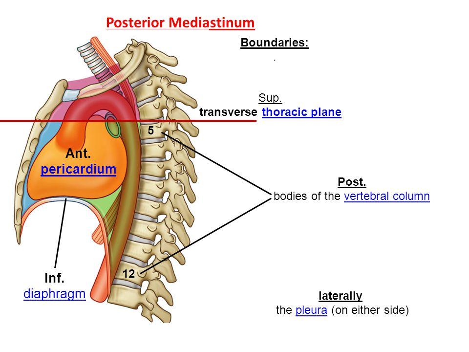 Posterior Mediastinum Boundaries:. Ant. pericardium pericardium Inf. diaphragm diaphragm Sup. transverse thoracic planethoracic plane Post. bodies of