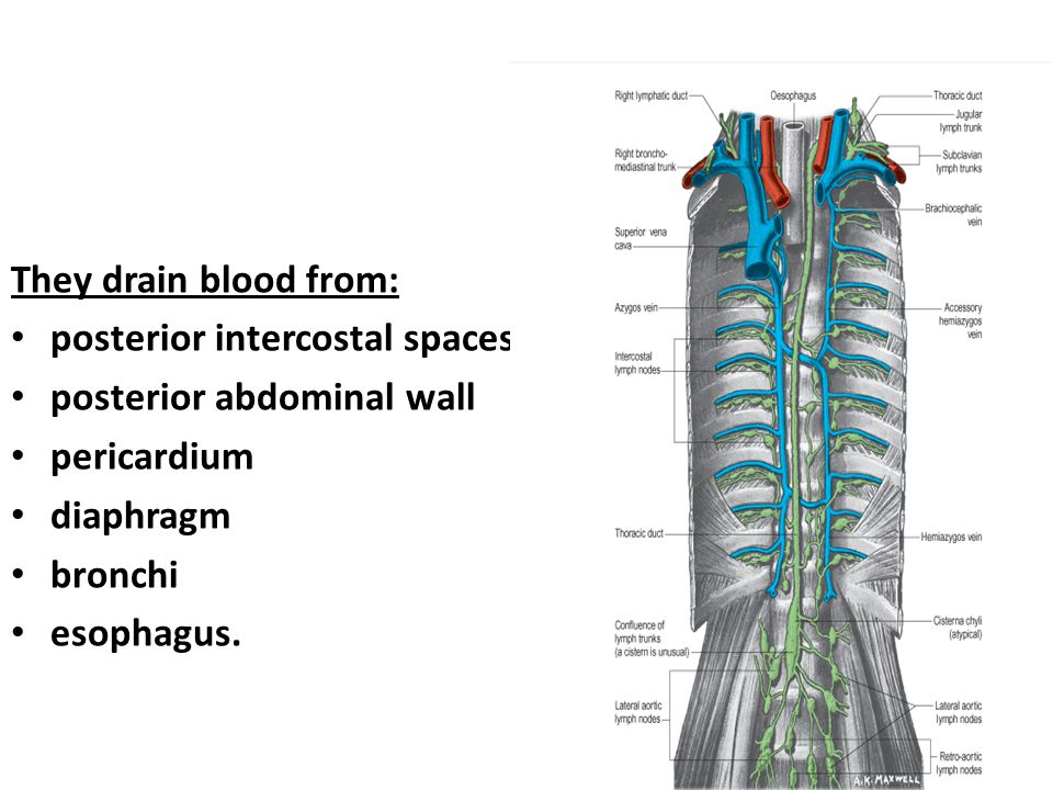 They drain blood from: posterior intercostal spaces posterior abdominal wall pericardium diaphragm bronchi esophagus.