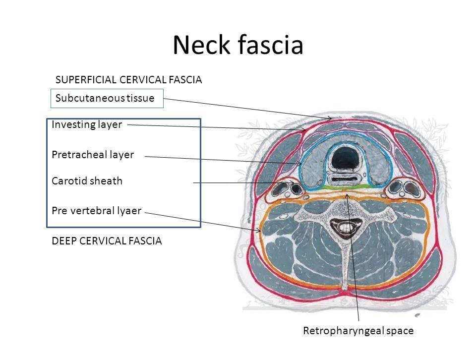 Neck fascia Subcutaneous tissue Investing layer Pretracheal layer Carotid sheath Pre vertebral lyaer DEEP CERVICAL FASCIA SUPERFICIAL CERVICAL FASCIA