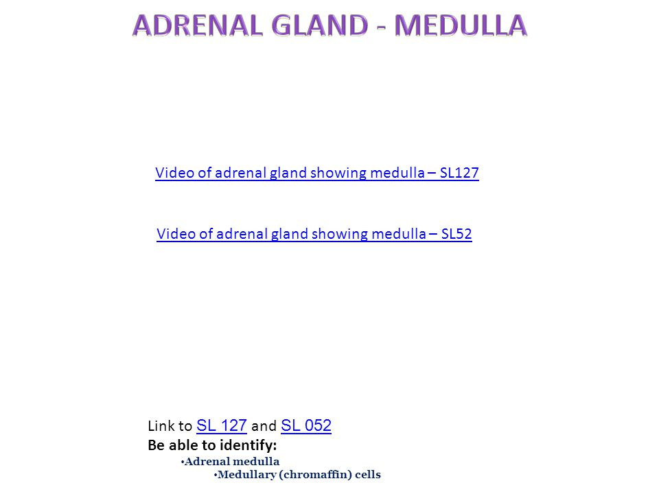 Video of adrenal gland showing medulla – SL127 Link to SL 127 and SL 052 SL 127 SL 052 Be able to identify: Adrenal medulla Medullary (chromaffin) cel