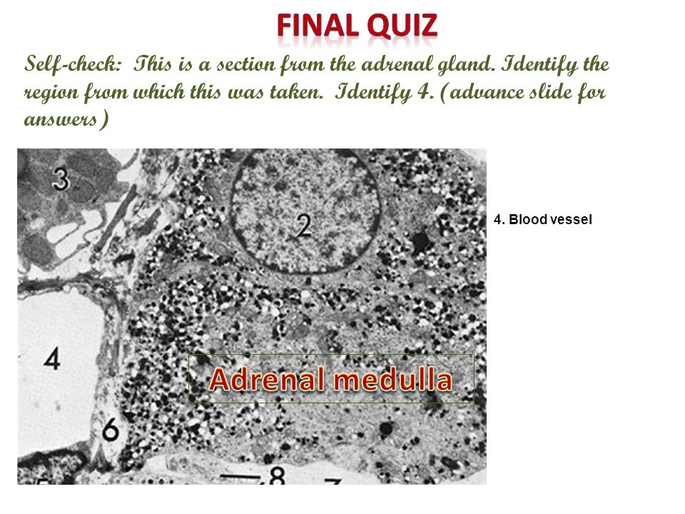 Self-check: This is a section from the adrenal gland. Identify the region from which this was taken. Identify 4. (advance slide for answers) 4. Blood