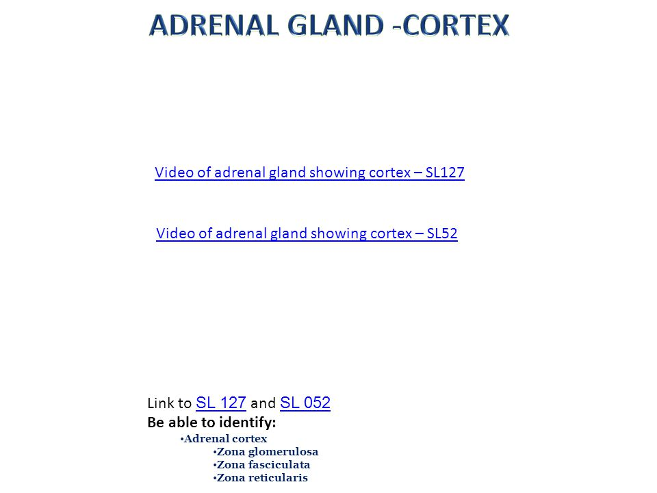 Video of adrenal gland showing cortex – SL127 Link to SL 127 and SL 052 SL 127 SL 052 Be able to identify: Adrenal cortex Zona glomerulosa Zona fascic