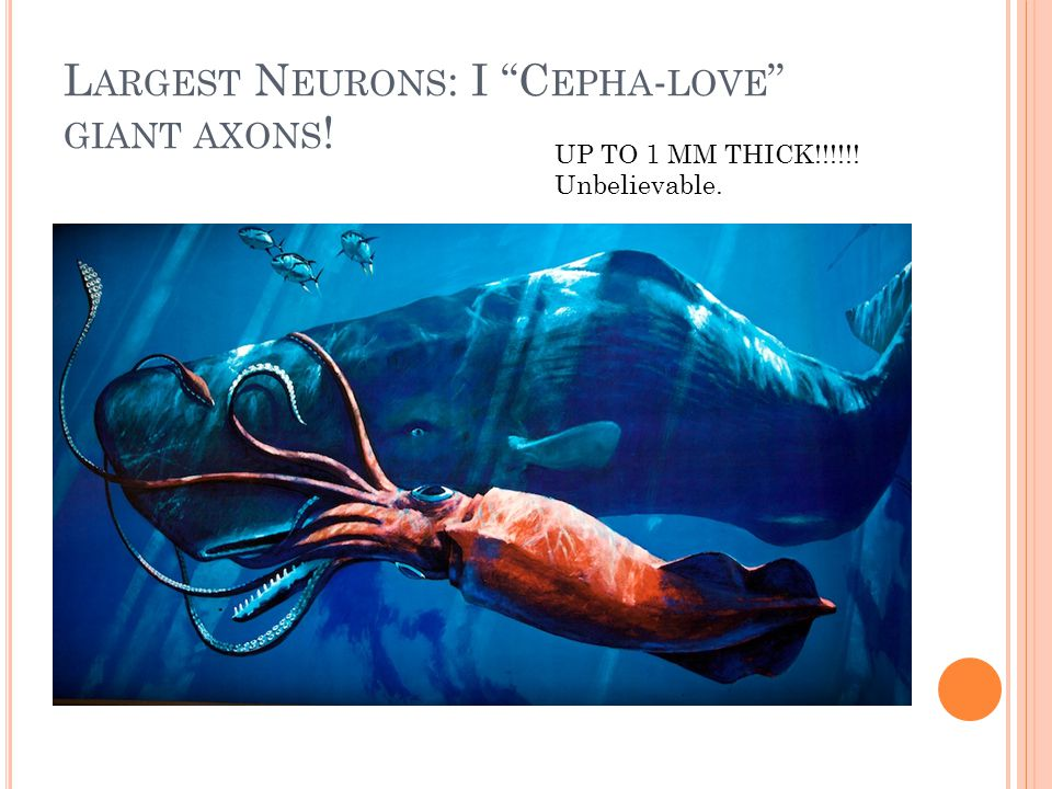 "L ARGEST N EURONS : I ""C EPHA - LOVE "" GIANT AXONS ! UP TO 1 MM THICK!!!!!! Unbelievable."