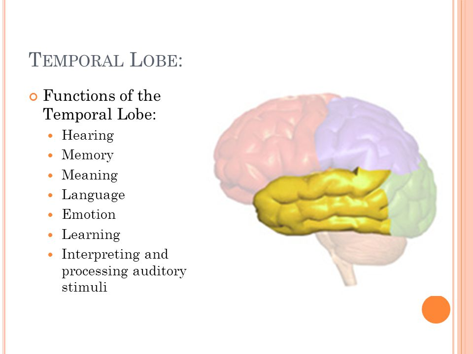 T EMPORAL L OBE : Functions of the Temporal Lobe: Hearing Memory Meaning Language Emotion Learning Interpreting and processing auditory stimuli