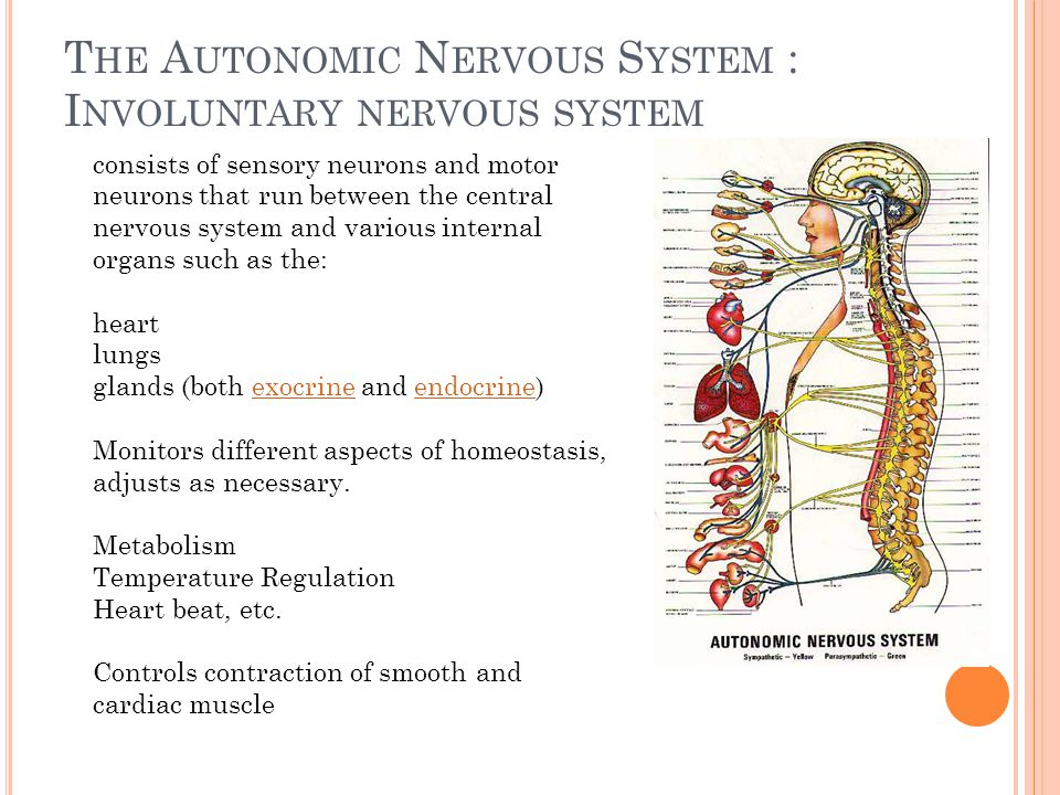 T HE A UTONOMIC N ERVOUS S YSTEM : I NVOLUNTARY NERVOUS SYSTEM consists of sensory neurons and motor neurons that run between the central nervous syst