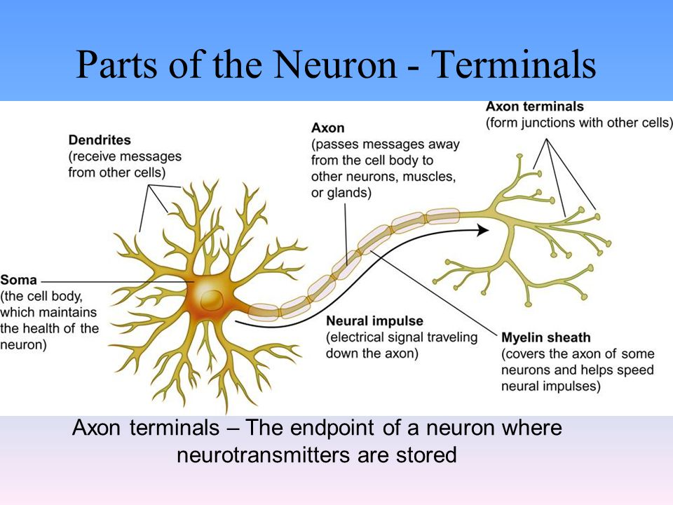 Parts of the Neuron - Terminals Axon terminals – The endpoint of a neuron where neurotransmitters are stored