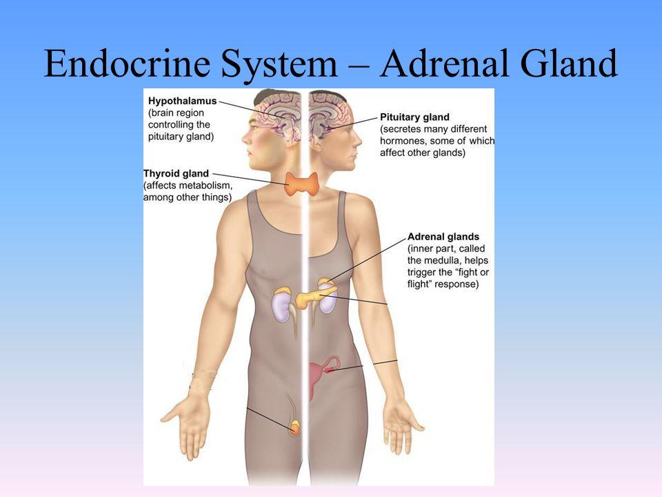 Endocrine System – Adrenal Gland