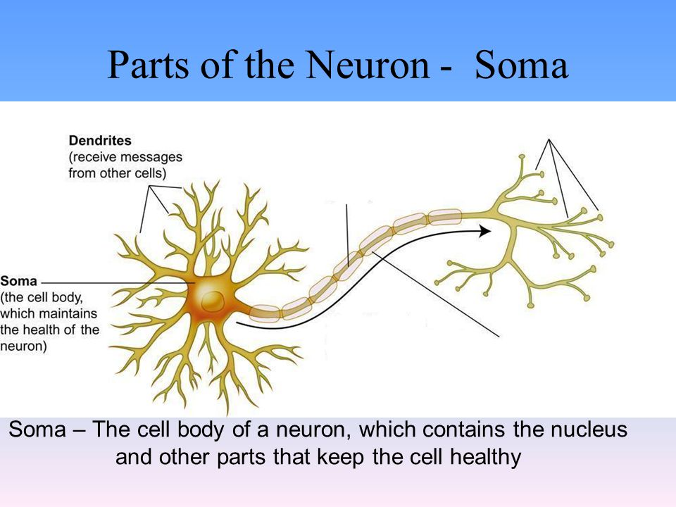 Parts of the Neuron - Soma Soma – The cell body of a neuron, which contains the nucleus and other parts that keep the cell healthy