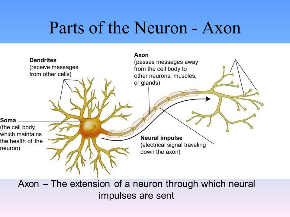Parts of the Neuron - Axon Axon – The extension of a neuron through which neural impulses are sent