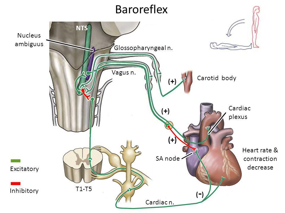 Baroreflex Carotid body Cardiac plexus SA node Glossopharyngeal n.