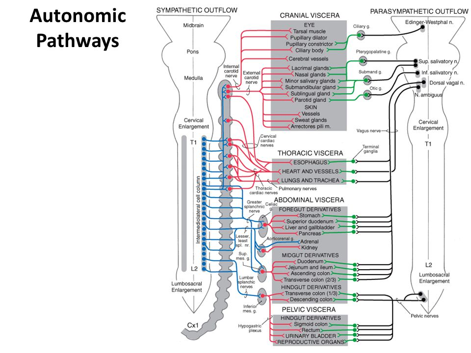 Autonomic Pathways