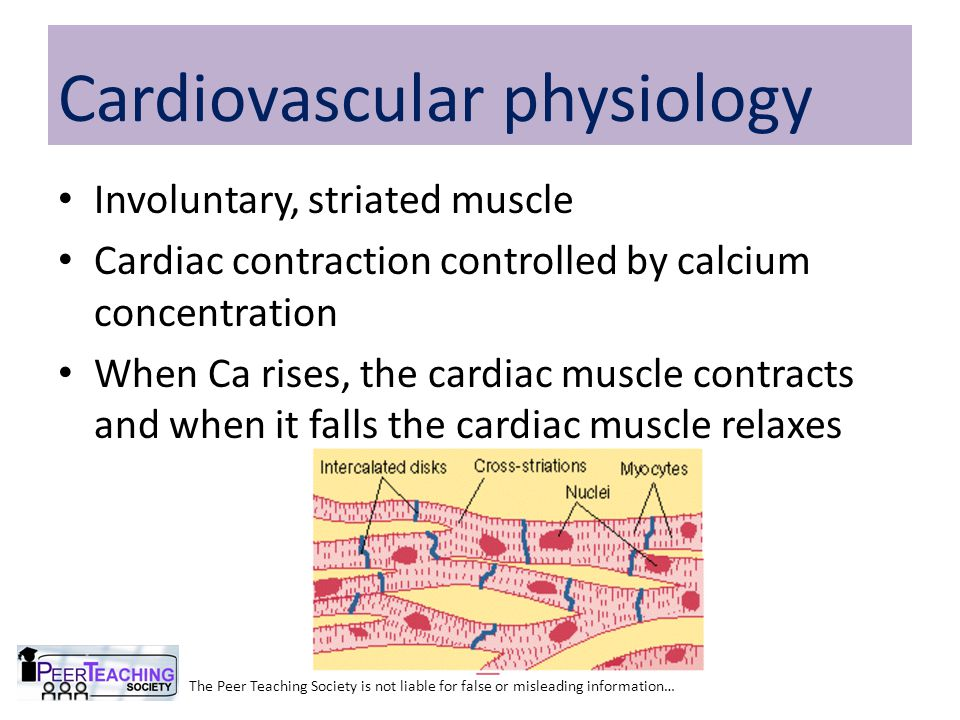 Involuntary, striated muscle Cardiac contraction controlled by calcium concentration When Ca rises, the cardiac muscle contracts and when it falls the cardiac muscle relaxes The Peer Teaching Society is not liable for false or misleading information… Cardiovascular physiology