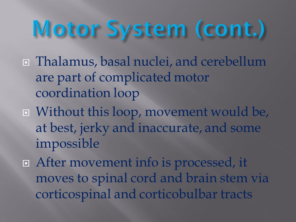  Thalamus, basal nuclei, and cerebellum are part of complicated motor coordination loop  Without this loop, movement would be, at best, jerky and in