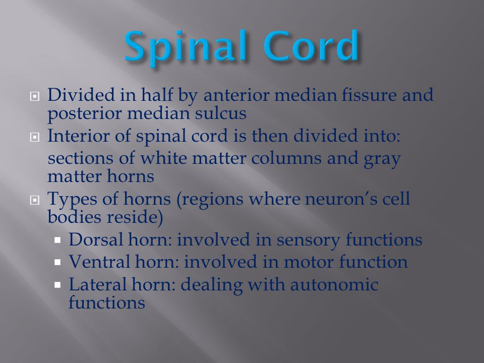  Divided in half by anterior median fissure and posterior median sulcus  Interior of spinal cord is then divided into: sections of white matter colu