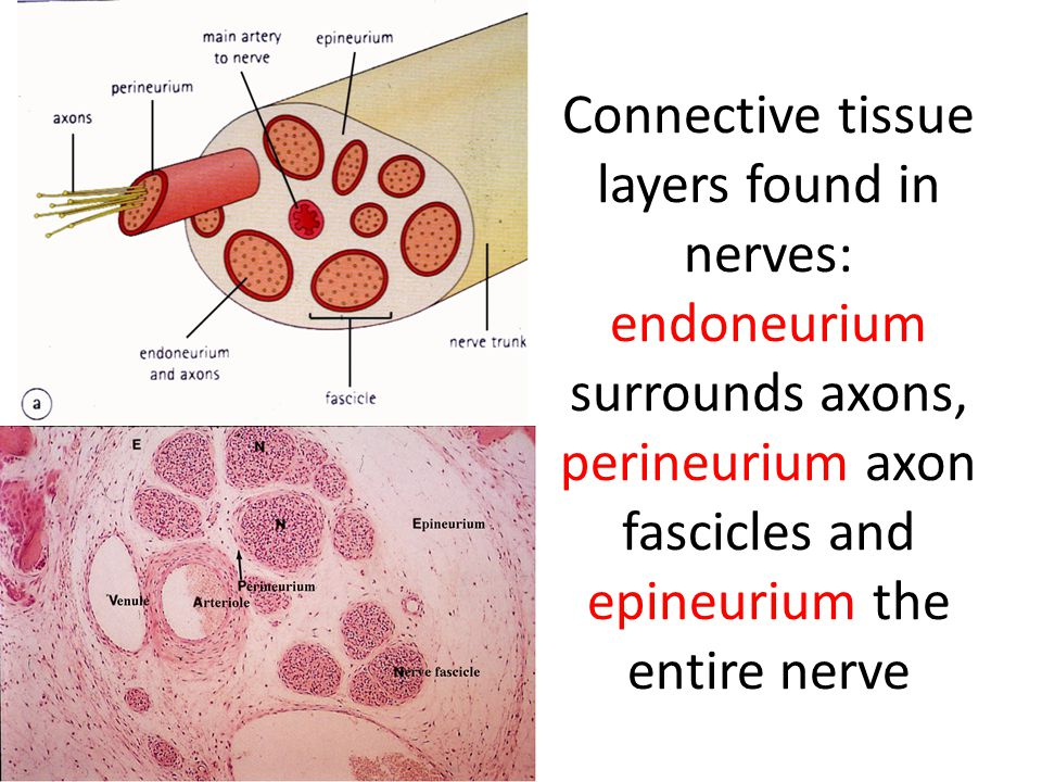 Connective tissue layers found in nerves: endoneurium surrounds axons, perineurium axon fascicles and epineurium the entire nerve