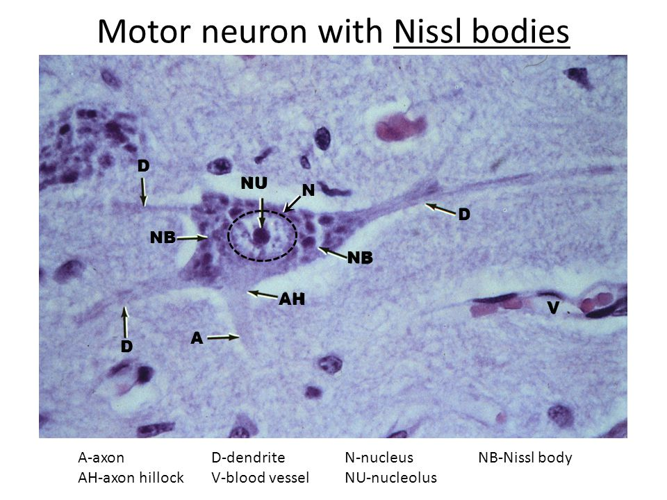 Nissl substance is rough endoplasmic reticulum