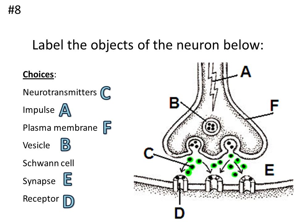Label the objects of the neuron below: Choices: Neurotransmitters Impulse Plasma membrane Vesicle Schwann cell Synapse Receptor #8
