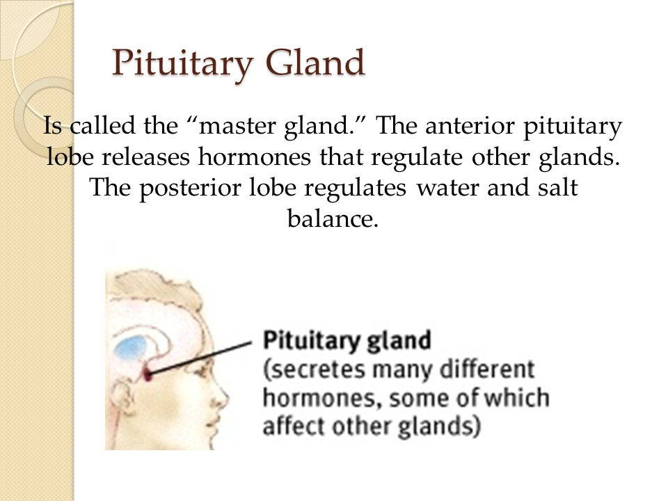 Pituitary Gland Is called the master gland. The anterior pituitary lobe releases hormones that regulate other glands.