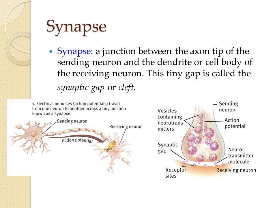Synapse Synapse: a junction between the axon tip of the sending neuron and the dendrite or cell body of the receiving neuron.