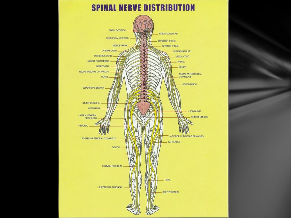 Each nerve goes directly to a particular part of the body or networks with other spinal nerves to form a plexus that supplies sensation to a larger segment of the body.