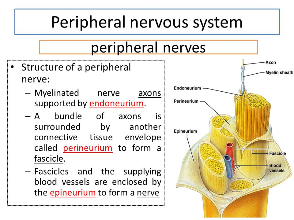 peripheral nerves Structure of a peripheral nerve: – Myelinated nerve axons supported by endoneurium. – A bundle of axons is surrounded by another con