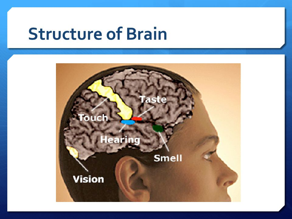 Structure of Brain