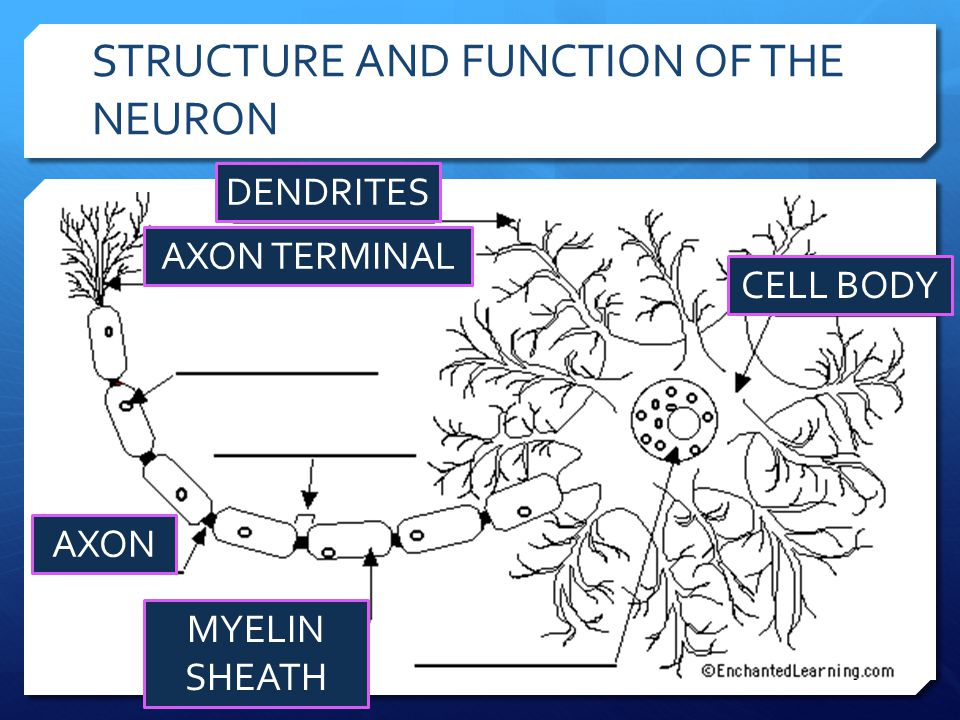 STRUCTURE AND FUNCTION OF THE NEURON CELL BODY DENDRITES AXON MYELIN SHEATH AXON TERMINAL
