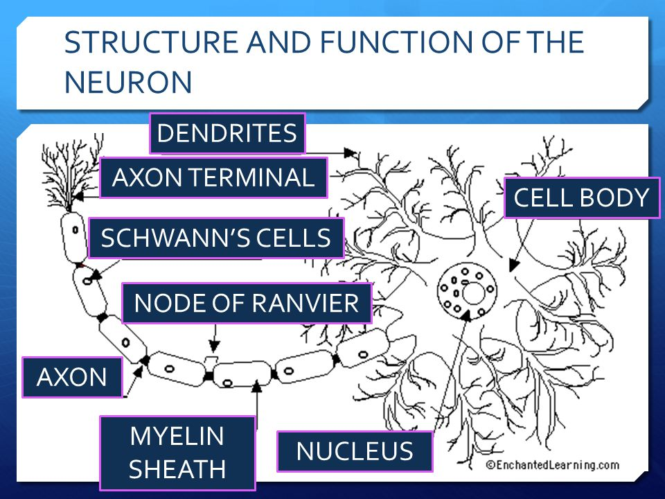 STRUCTURE AND FUNCTION OF THE NEURON CELL BODY DENDRITES AXON MYELIN SHEATH AXON TERMINAL NUCLEUS SCHWANN'S CELLS NODE OF RANVIER