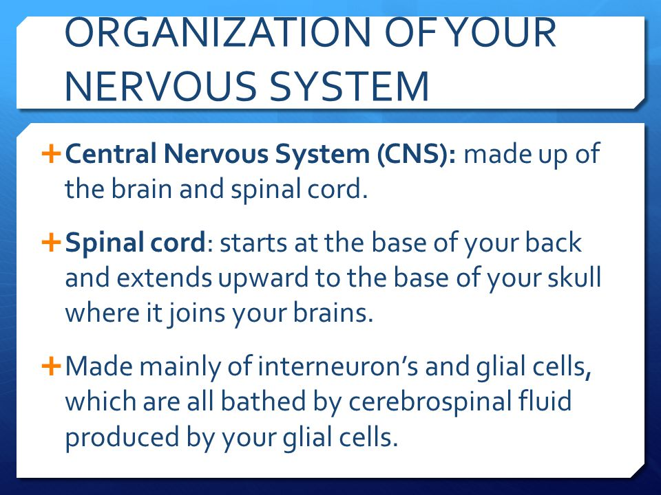 ORGANIZATION OF YOUR NERVOUS SYSTEM  Peripheral Nervous System (PNS): made up the somatic and autonomic nervous systems, and spread around your body from your spinal cord outwards.
