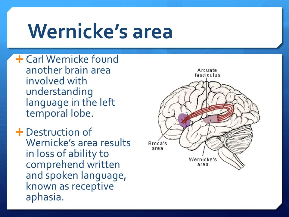 Wernicke's area  Carl Wernicke found another brain area involved with understanding language in the left temporal lobe.  Destruction of Wernicke's a