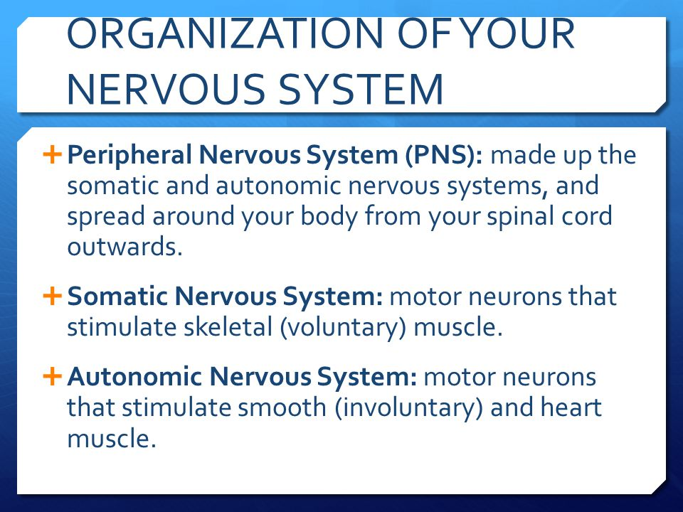 ORGANIZATION OF YOUR NERVOUS SYSTEM  The Autonomic Nervous System is divided into two parts:  Sympathetic Nervous System: Responses that help your body deal with stressful events, including:  Dilation of pupils, release of glucose from your liver, dilation of bronchi, inhibition of digestive functions, acceleration of heart rate, secretion of adrenalin from your adrenal glands, acceleration of breathing rate, and inhibition of secretion of your tear glands.