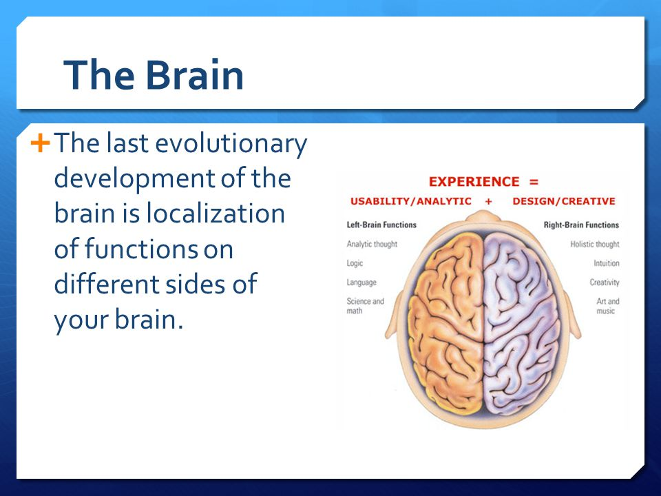 The Brain  The last evolutionary development of the brain is localization of functions on different sides of your brain.