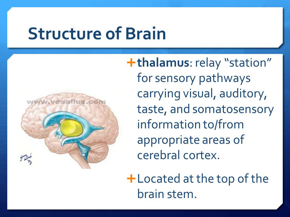 "Structure of Brain  thalamus: relay ""station"" for sensory pathways carrying visual, auditory, taste, and somatosensory information to/from appropriat"