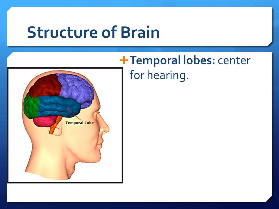 Structure of Brain  Temporal lobes: center for hearing.