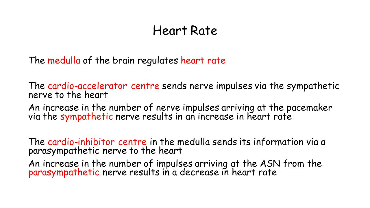 Heart Rate The medulla of the brain regulates heart rate The cardio-accelerator centre sends nerve impulses via the sympathetic nerve to the heart An