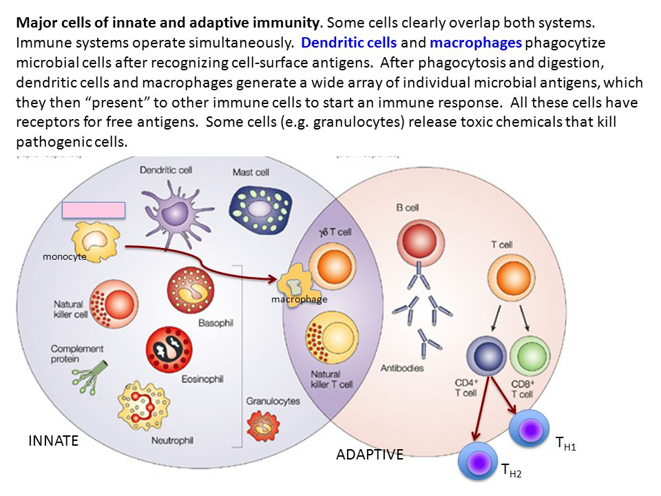INNATE ADAPTIVE monocyte macrophage Major cells of innate and adaptive immunity.