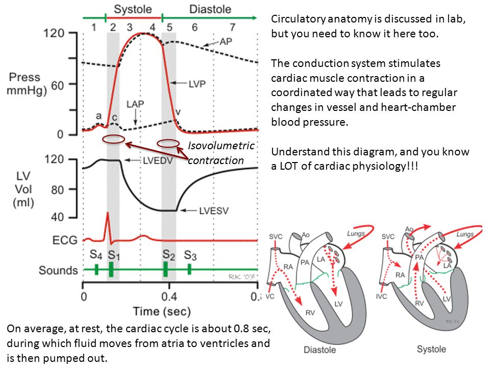 Circulatory anatomy is discussed in lab, but you need to know it here too.