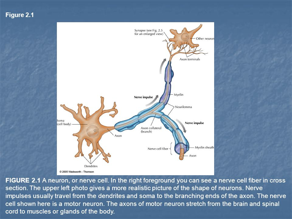 Figure 2.1 FIGURE 2.1 A neuron, or nerve cell.