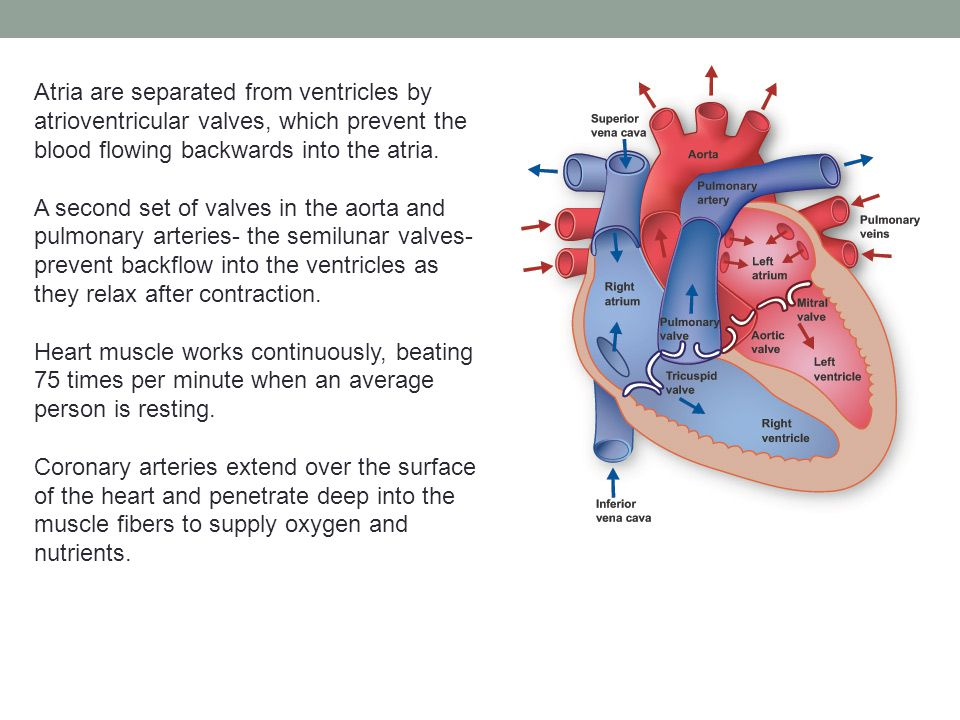 Atria are separated from ventricles by atrioventricular valves, which prevent the blood flowing backwards into the atria. A second set of valves in th