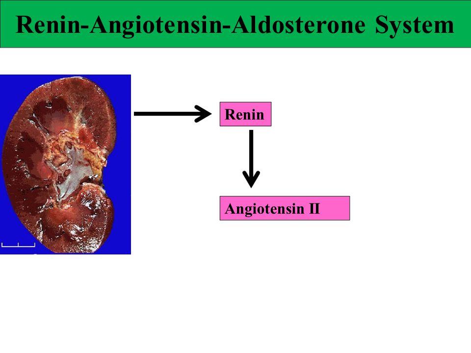 Renin-Angiotensin-Aldosterone System Renin Angiotensin II