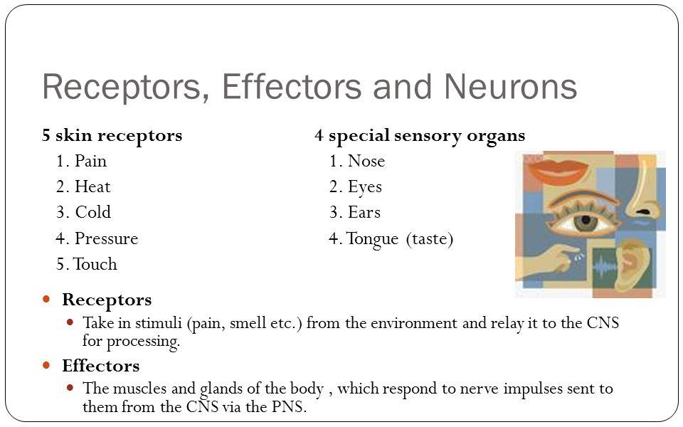 Receptors, Effectors and Neurons 5 skin receptors4 special sensory organs 1. Pain 1. Nose 2. Heat 2. Eyes 3. Cold 3. Ears 4. Pressure 4. Tongue (taste