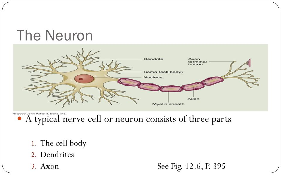 The Neuron A typical nerve cell or neuron consists of three parts 1. The cell body 2. Dendrites 3. AxonSee Fig. 12.6, P. 395