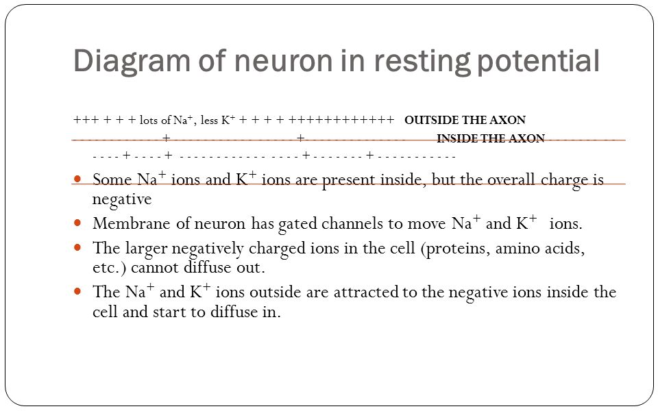 Diagram of neuron in resting potential +++ + + + lots of Na +, less K + + + + + ++++++++++++ OUTSIDE THE AXON - - - - - - - - - - - - + - - - - - - -