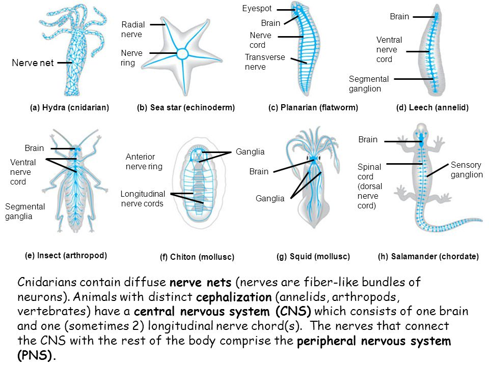 Neurons transmit a signal by changing the charge of their membranes.
