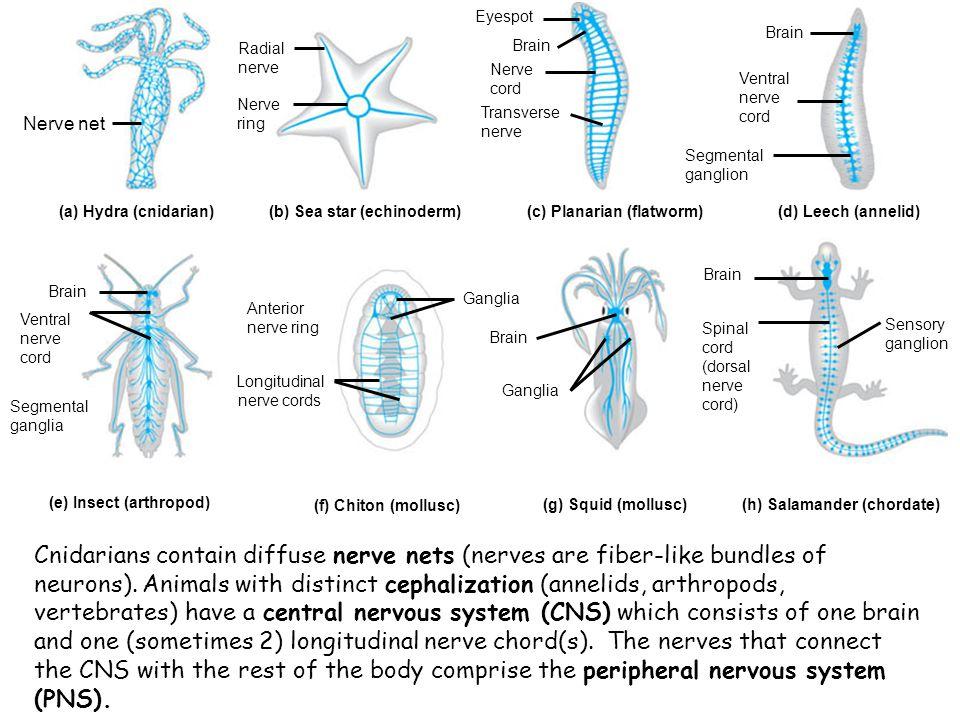 Axon Cell body Dendrites (a) Sensory neuron (b) Interneurons (c) Motor neuron Neurons differ quite a bit in morphology depending on their function.
